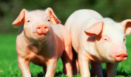 一周综述:本周猪价全面下调 企稳还需时日