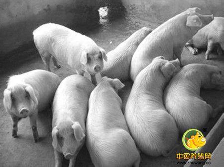 什么原因引起断奶母猪不发情?断奶母猪不发情的原因