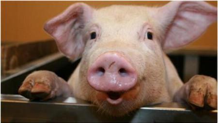 养好猪只需做到这三点:种好料好管理好