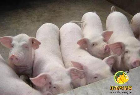 母猪早期的泌乳障碍