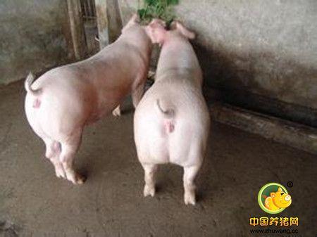 养猪场控制两大疾病有效减少母猪异常淘汰