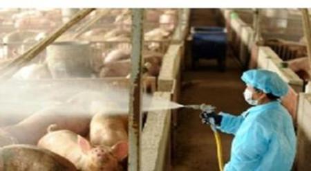 保证消毒效果,猪场消毒时需要注意的事项
