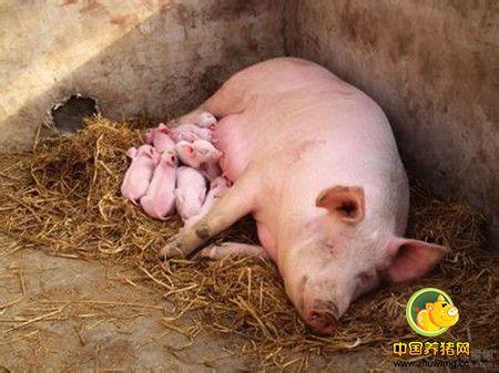 那么些年了,猪场的成活率为什么那么低,终于找到是因为什么了