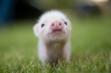 技术 | 早春须防猪流感