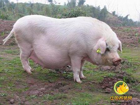 母猪产前不食的综合防治方法,母猪妊娠末期食欲减退的原因