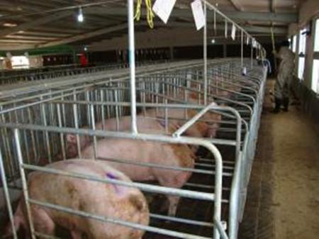 造成母猪食仔的原因与预防措施,母猪为什么会吃新生仔猪