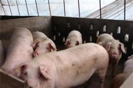 育肥猪如何管理才能早出栏更健康?