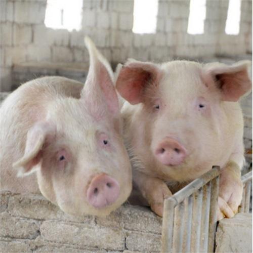 养殖场之种猪9大选育阶段