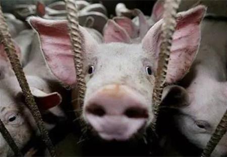 如何防治猪的呼吸道疾病