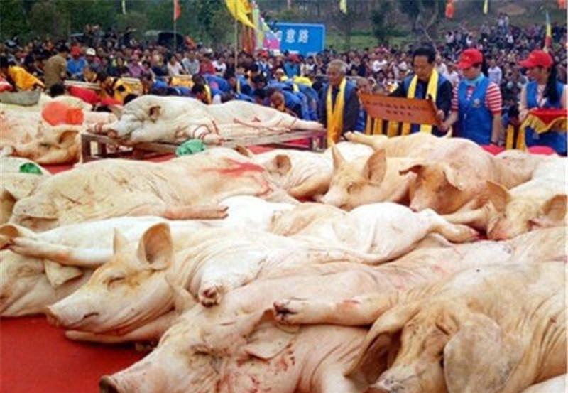 肥猪堆成山 单是祭祀用的全猪就有50多头!