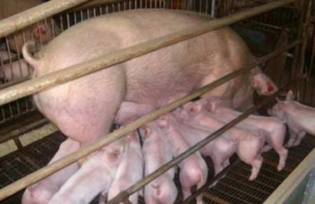 辨别母猪临产的方法,怎样知道母猪即将临产