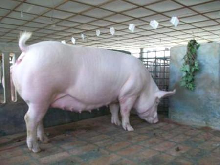 怀孕母猪的营养与饲料,妊娠母猪对营养的需求