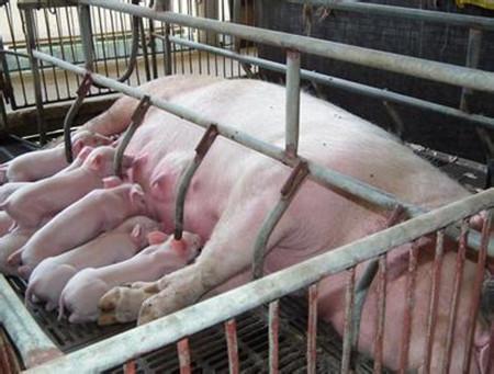 母猪产仔数量少的原因分析,引起母猪产仔数量少的因素