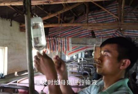 母猪人工助产方法,母猪的助产方法介绍
