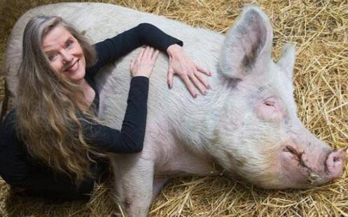 """不会被宰还享受按摩?荷兰农场成""""猪的乐土""""(图)"""