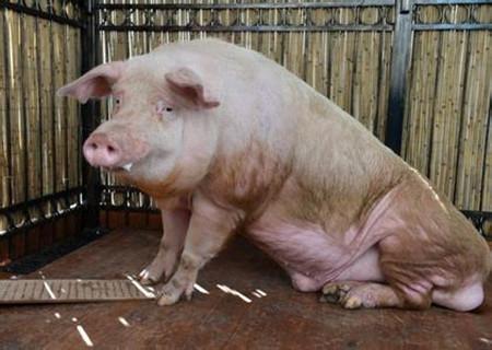 罕见的猪旋毛虫病例