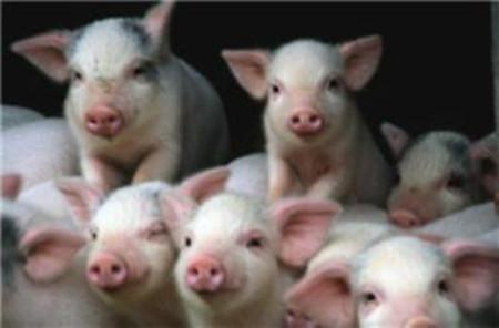 仔猪跳跳病的原因分析及防治