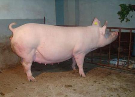 产子哺乳母猪的饲养管理要点
