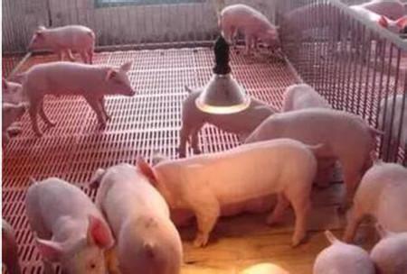 要想让仔猪达到最佳健康状态,母猪需做到哪些?