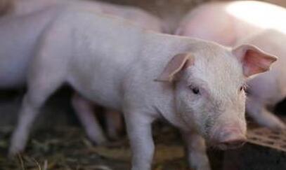 猪传染性萎缩性鼻炎的5种治疗措施!