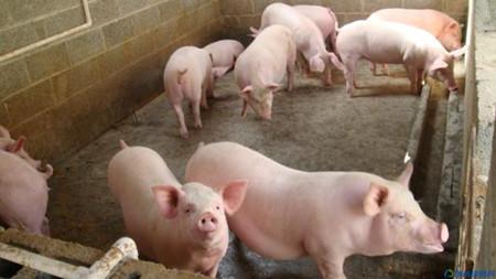 提高母猪产仔量的第一步,每个养猪人都该看!