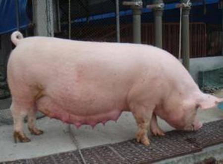 猪体温升高所引发的疾病有哪些 ?如何区分?