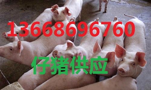 山东小猪出售基地仔猪供应市场仔猪价格