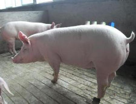规模化养猪场后备母猪存在的问题及对策