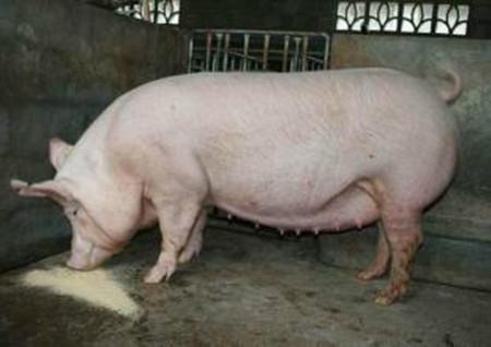 提高二元杂交母猪产仔率的措施,如何使二元杂交母猪多产仔?