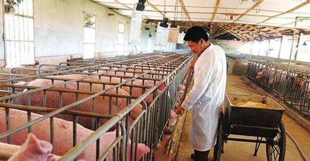 饲养母猪的成本如何核算?