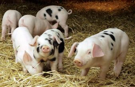 给仔猪提早开食有什么好处?怎样给仔猪开食?