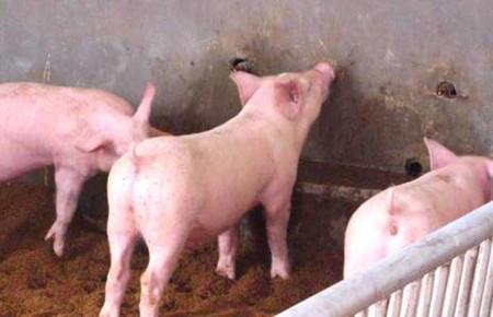 为什么要给仔猪固定乳头?