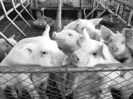 母猪分娩后采食量与断奶后发情间隔时间的关系