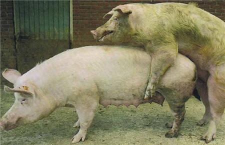 谁能当选试情公猪?当公猪发出这种信号时就选它