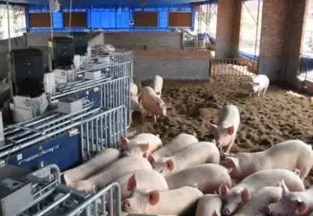 年薪百万猪场场长总结的34条养猪经验!