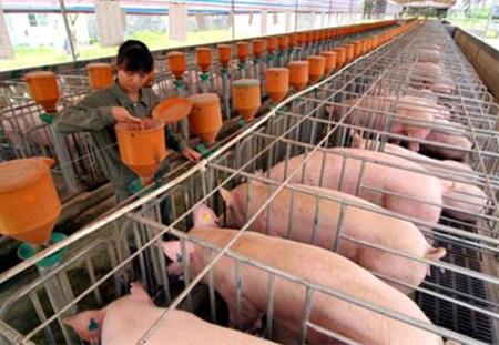 养猪场饲养密度高很容易引起寄生虫疾病的流行!