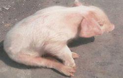 猪喘气病的治疗方案