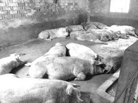 猪场排污臭气熏天 宛城区畜牧局:清理污物