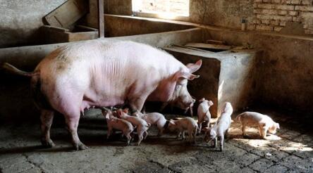 生猪价格终于不跌了 预计短期猪价格稳小涨