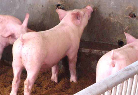 猪身上长圆形的扁平疙瘩是怎么回事?