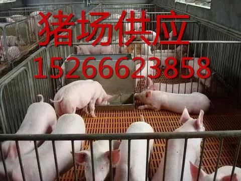 山东仔猪基地批发三元仔猪苗猪母猪价格15266623858