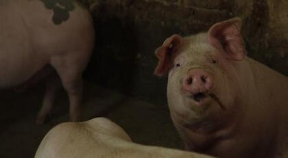 猪价跌势扭转,建议养殖户调整存栏结构