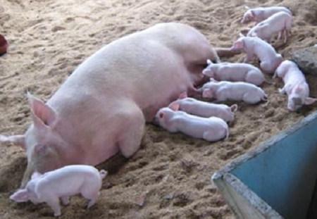 """不容小觑!母猪的产后护理四""""重要"""""""