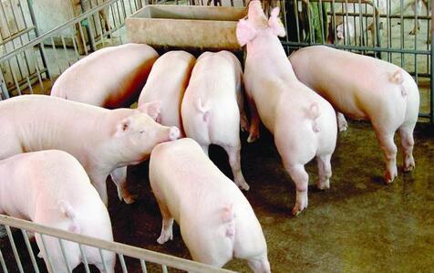 猪价格到底能否回升?带你了解猪价走低的秘密