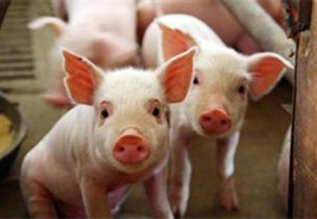 猪免疫抑制的常见因素与预防措施