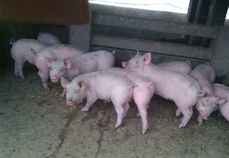 如何做好新购仔猪的防疫工作