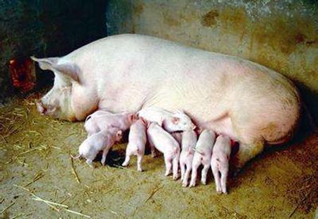 如何解决母猪产活仔数少的问题