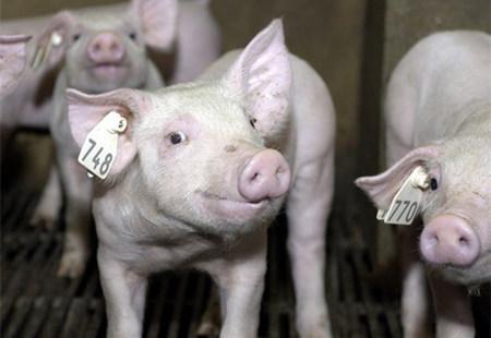 """如何才能挑到""""好""""的后备母猪?"""
