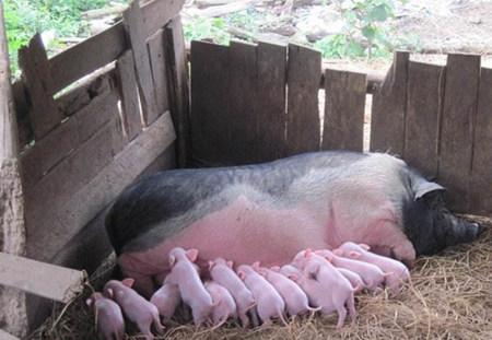 如何优化母猪繁殖力和情期受胎率