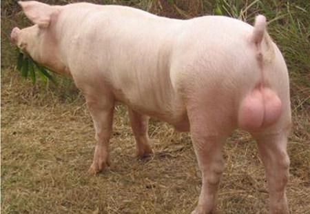 公猪死精的原因分析及技术措施